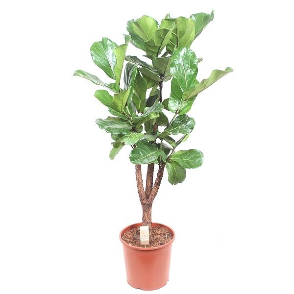 140cm Ficus Lyrata
