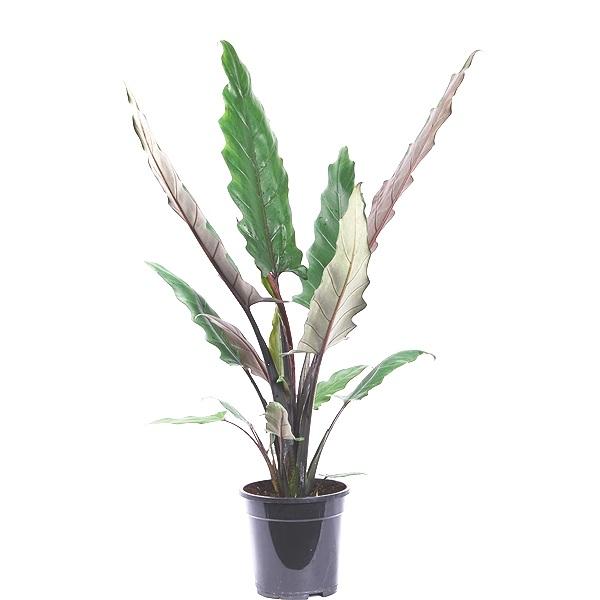 90cm Alocasia Lauterbachiana
