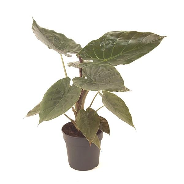 70cm Alocasia Wentii