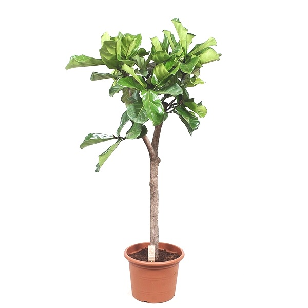 200cm Ficus Lyrata