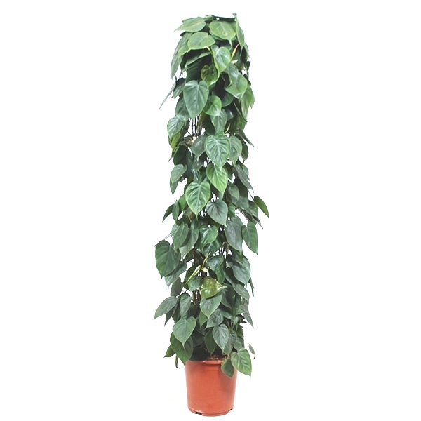 160cm Philodendron Scandens