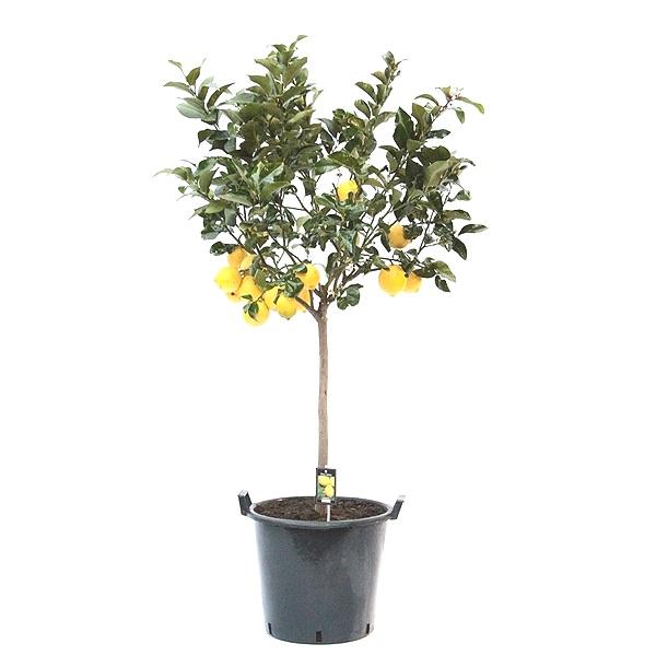 170cm Lemon Tree