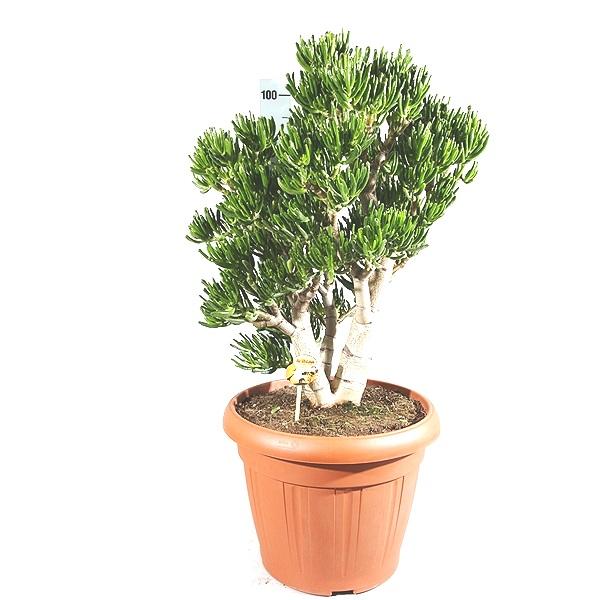 95cm Crassula Tree
