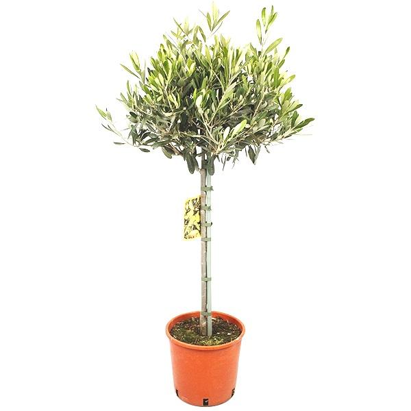 160cm Olive Tree