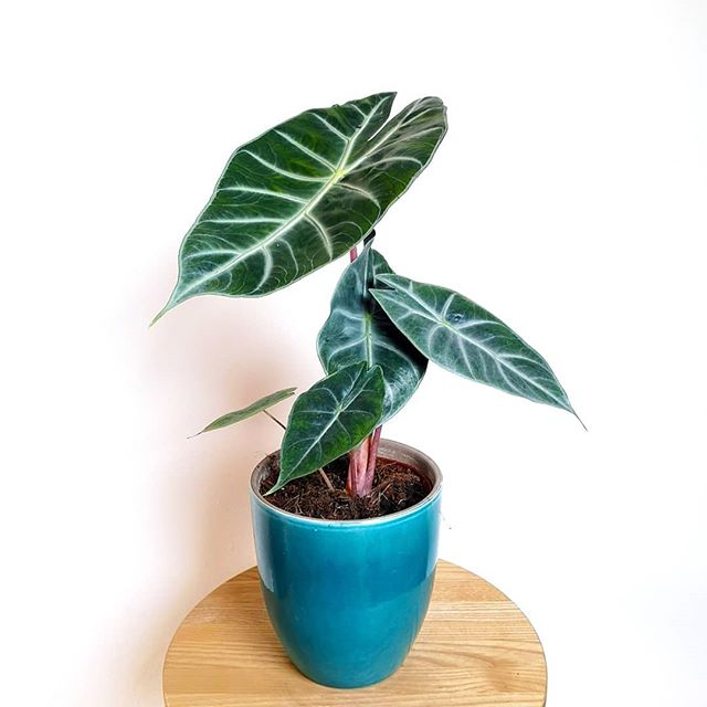 🌱 Alocasia Nairobi Nights has just arrived! We LOVE the pink stems and deep purple underside to the leaves!! . #alocasialovers #alocasianairobinight #plantsofinstagram #houseplantsofinstagram #plantsplantsplants #indoorjungle #plants #plantstrong #rareplants #crazyplantlady #boyswithplants #urbanjungle #urbanjunglebloggers #sheffieldbloggers