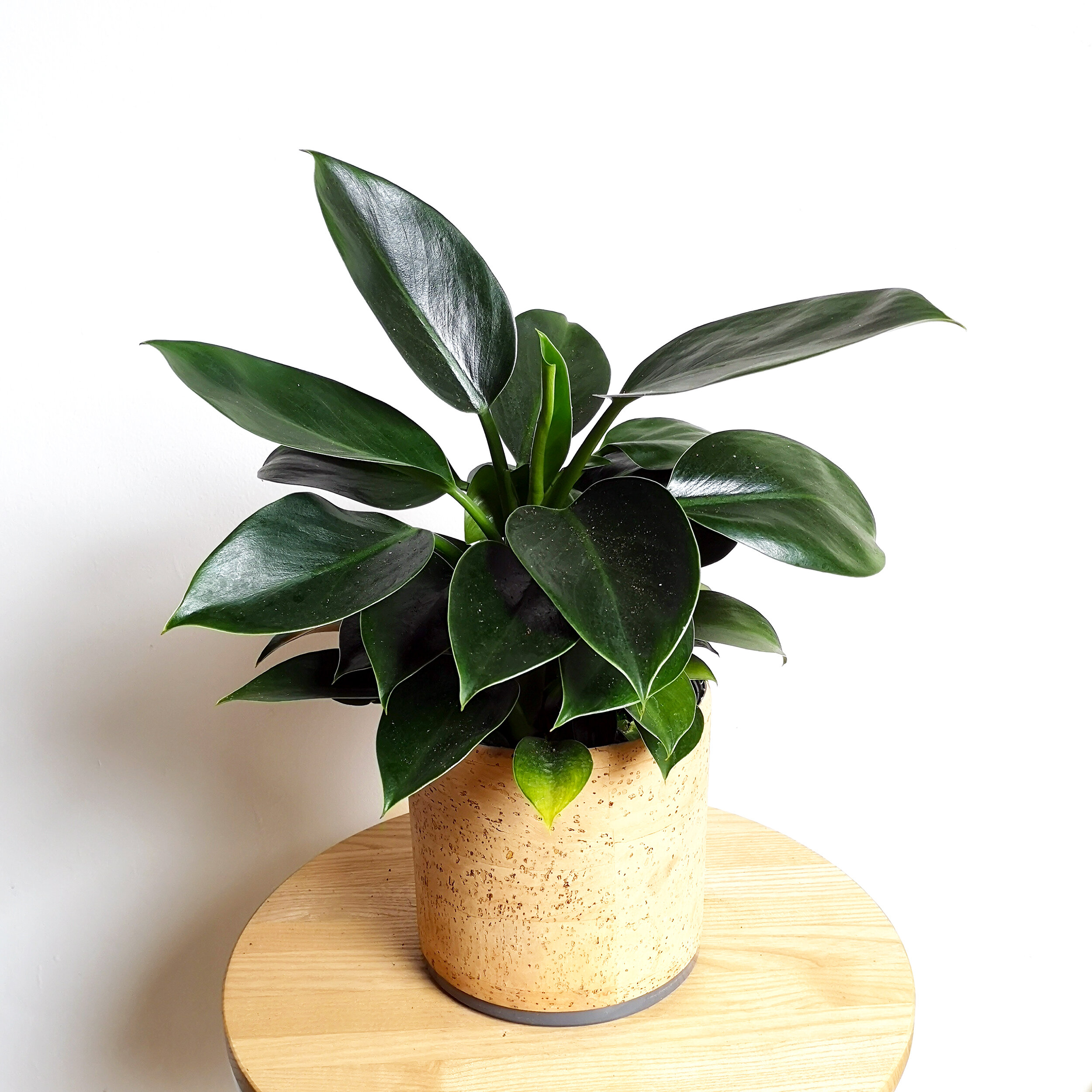 Philodendron Green Princess 7.jpg