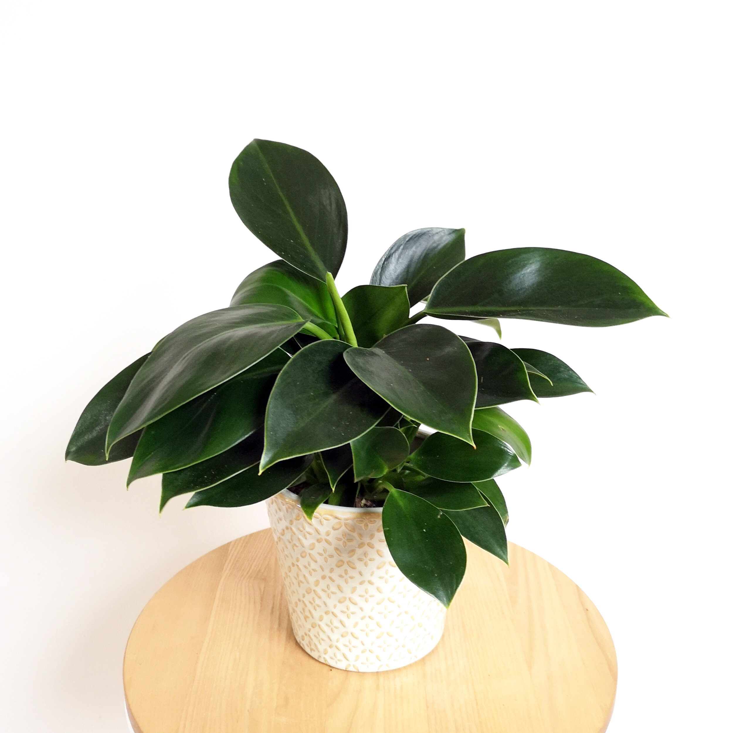 Philodendron Green Princess 1.jpg