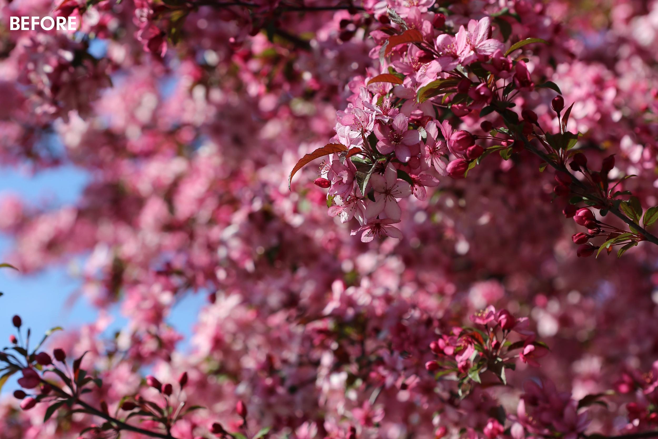 pink-flower-treechickpeach-lightroom-presets11.jpg