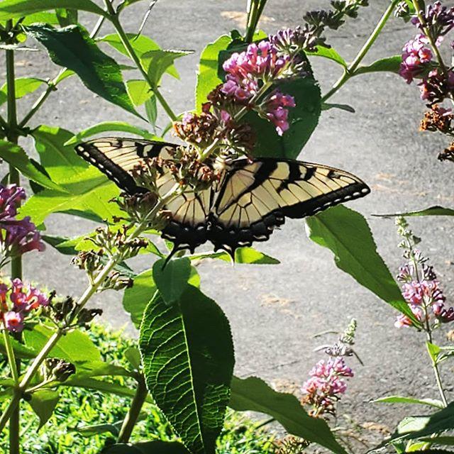 Well hello there. 🥰  #gardenbutterfly #butterfly🦋 #butterflygarden #flowers🌸