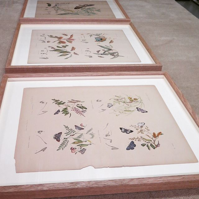 Recently framed these beautiful antique lithographs by the Scott Sisters for the Australian Museum Foundation fundraiser @australianmuseum