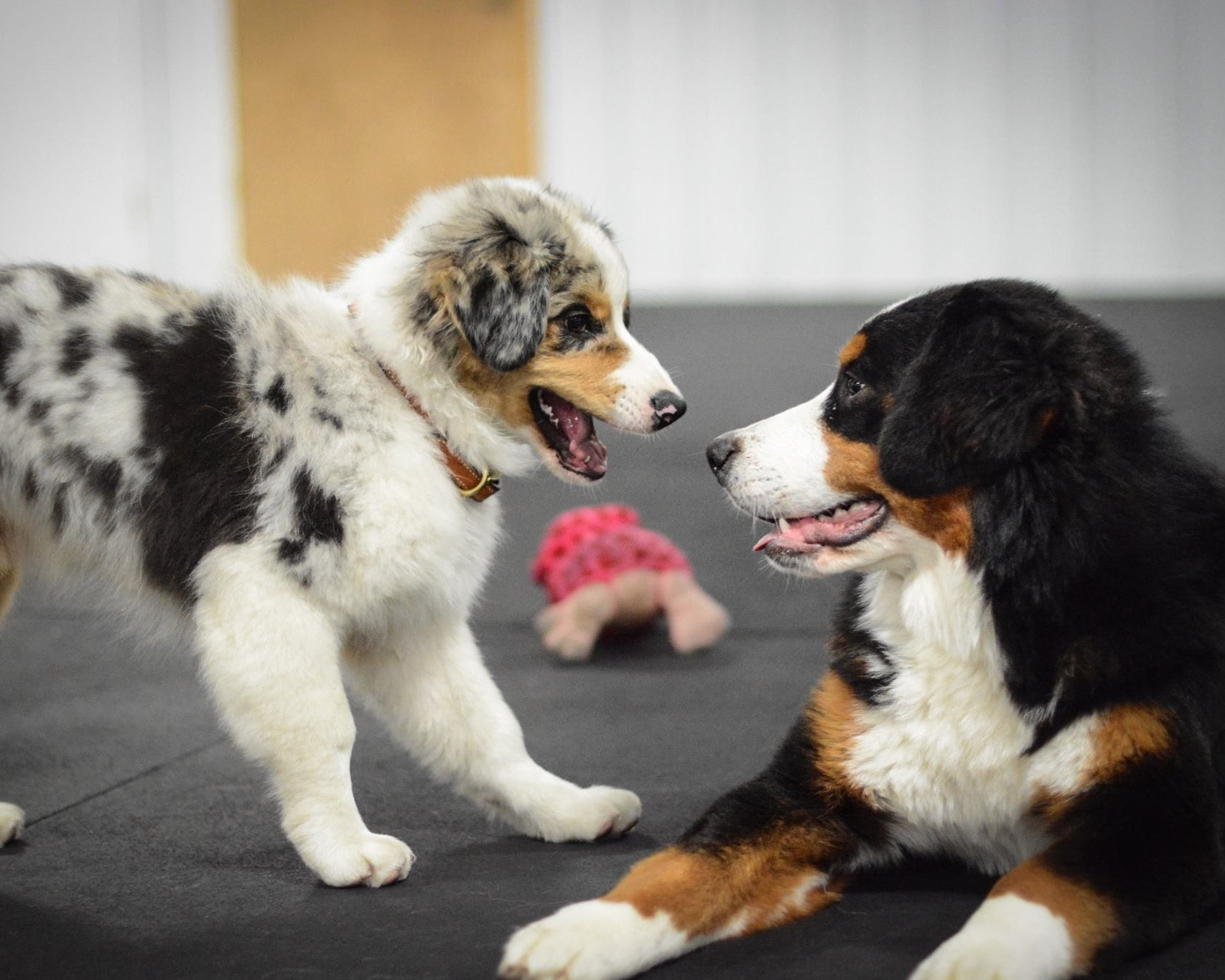 Puppy Right Start - Includes simple beginning obedience, solutions to common puppy issues, and off leash play*Puppies 8-16 weeks old (prime time for socialization)Saturdays @ 10:05 AM - 6 week class for $150 or $25 per class, with open enrollment so you can start as soon as you are ready!