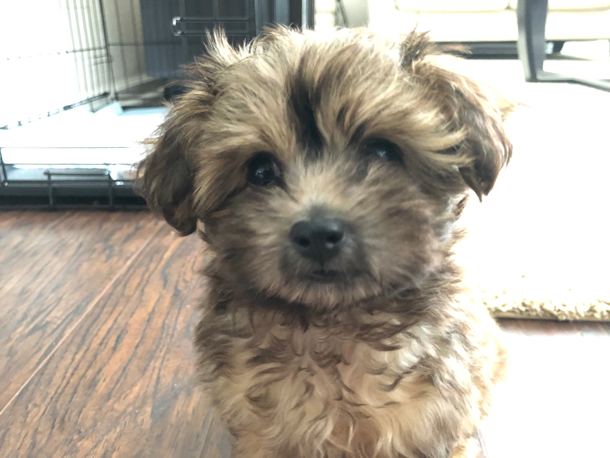 Puppy tax! Mac is a 10 week old Yorkiepoo.