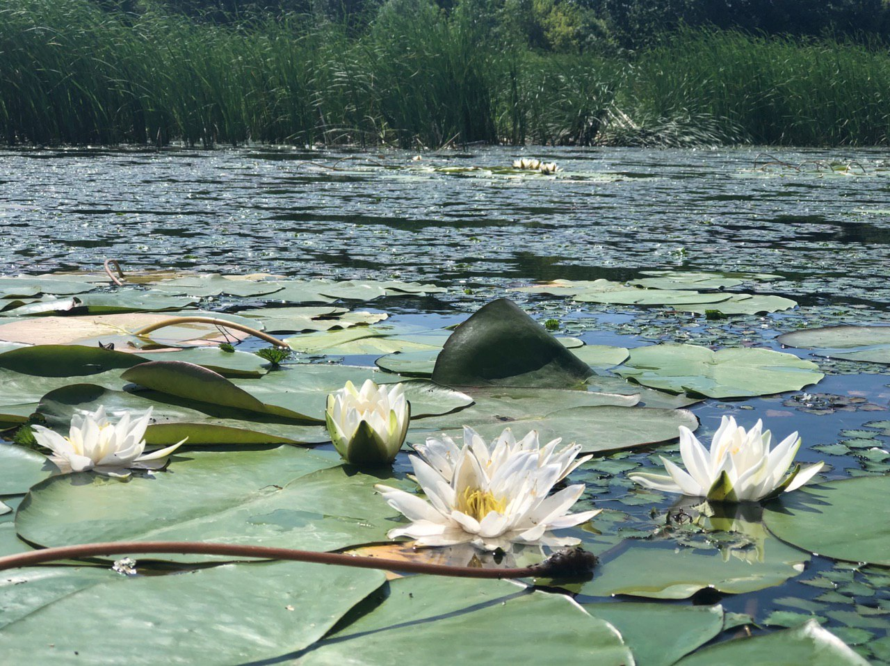 White lilies, river lilies, often confused with lotus