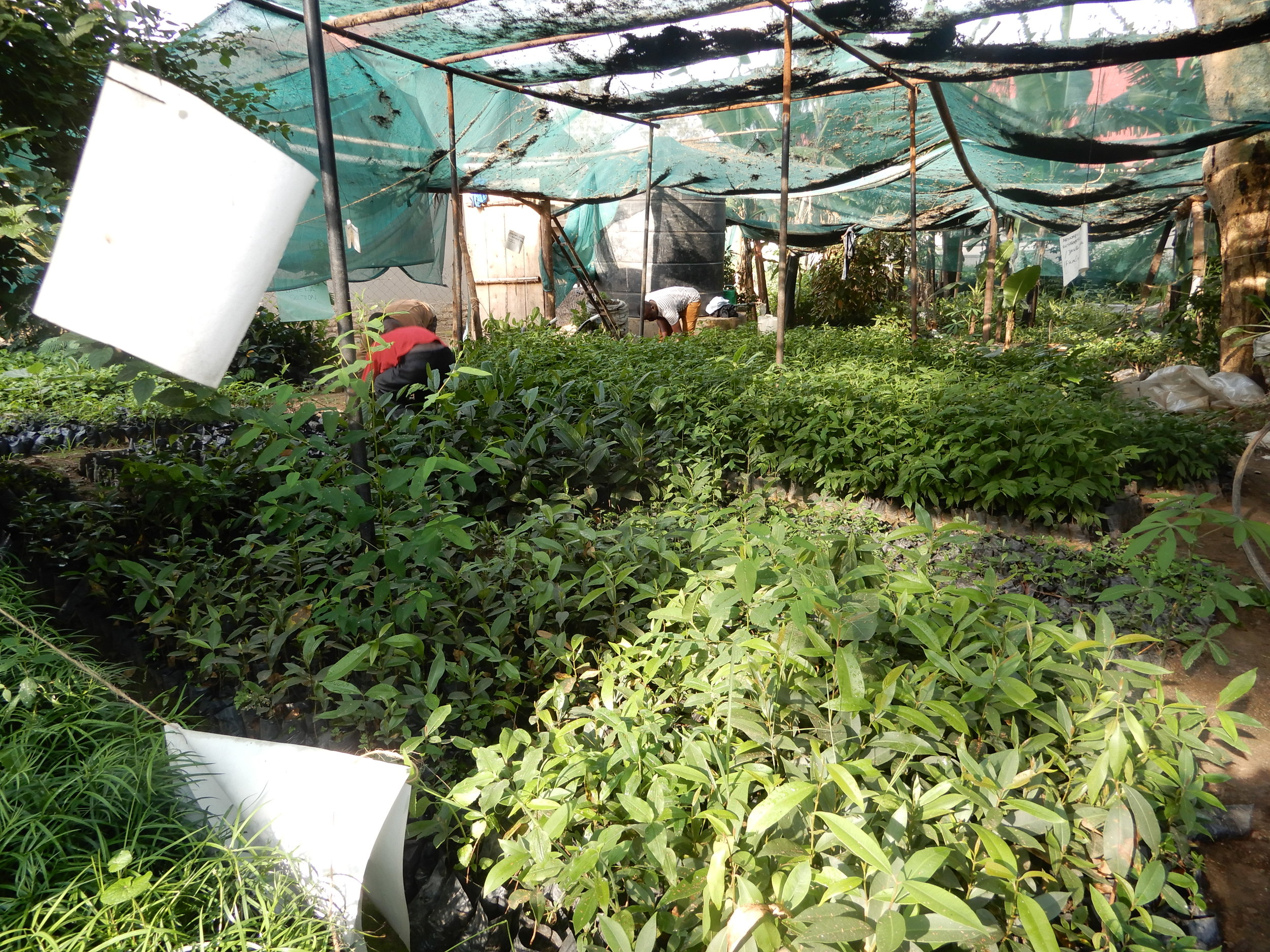 This photo shows part of the tree nursery established. The tree nursery raises indigenous tree species for restoring our forest landscape.