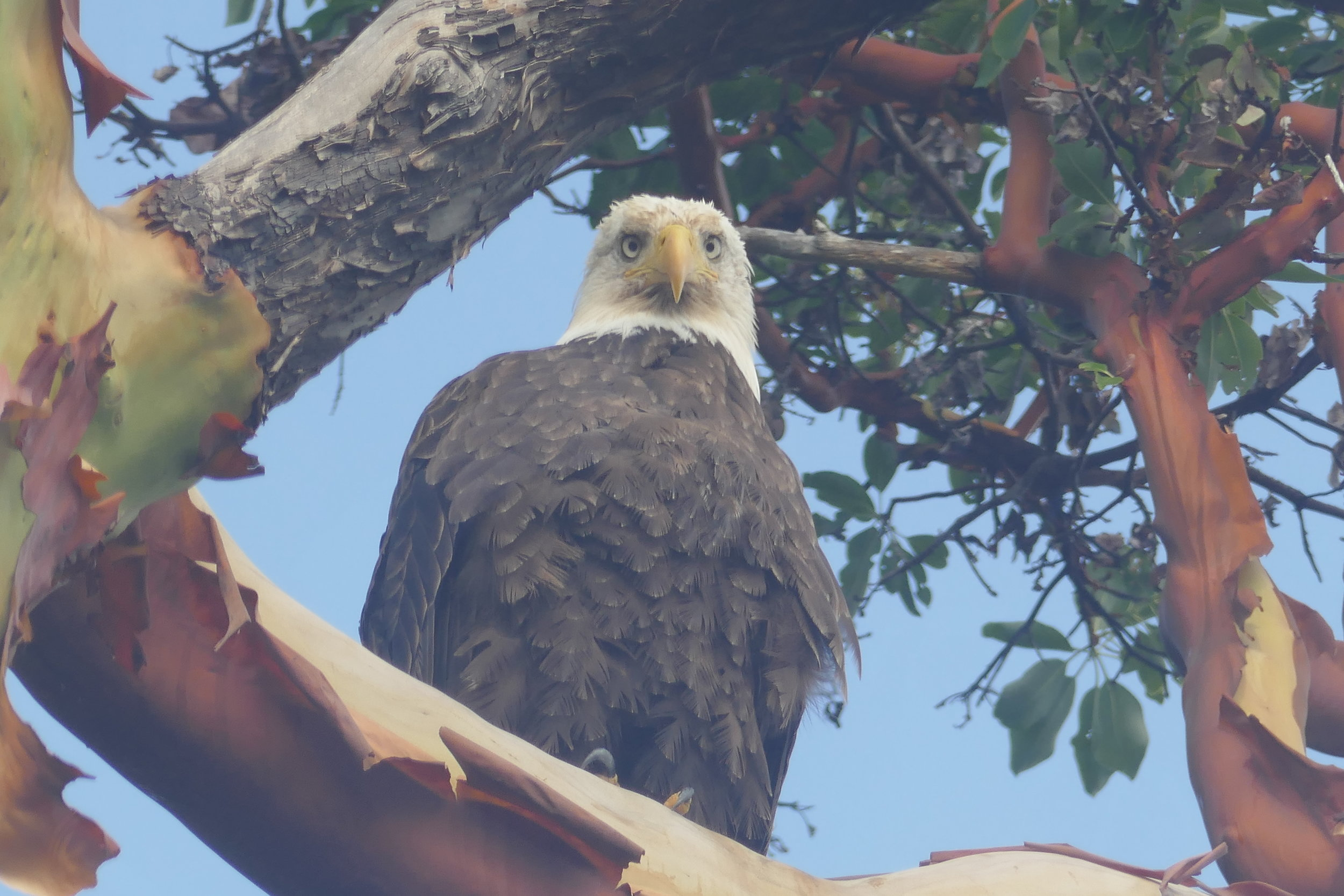 Bald Eagle, Sharpes Bay, British Columbia, Canada.   The watchful eyes of the eagle see the threats of climate change.