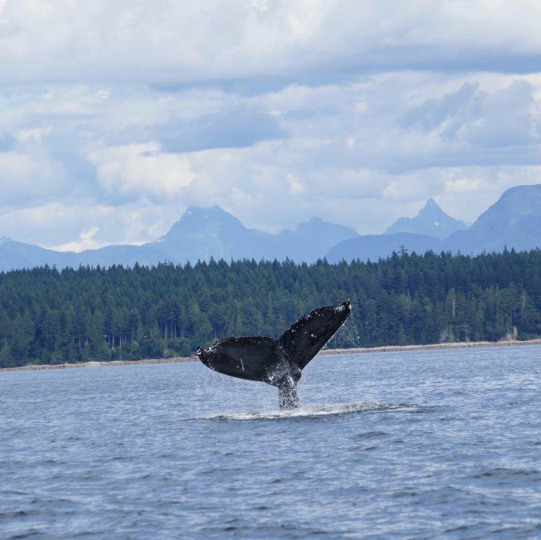 Humpback Whale, Salish Sea, British Columbia, Canada.
