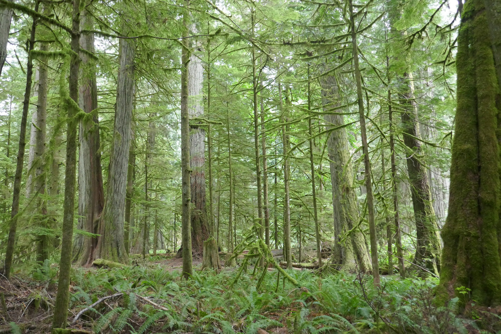 Cathedral Grove, Vancouver Island, British Columbia, Canada.   The old growth (up to 800 years old) nourishes the new growth.
