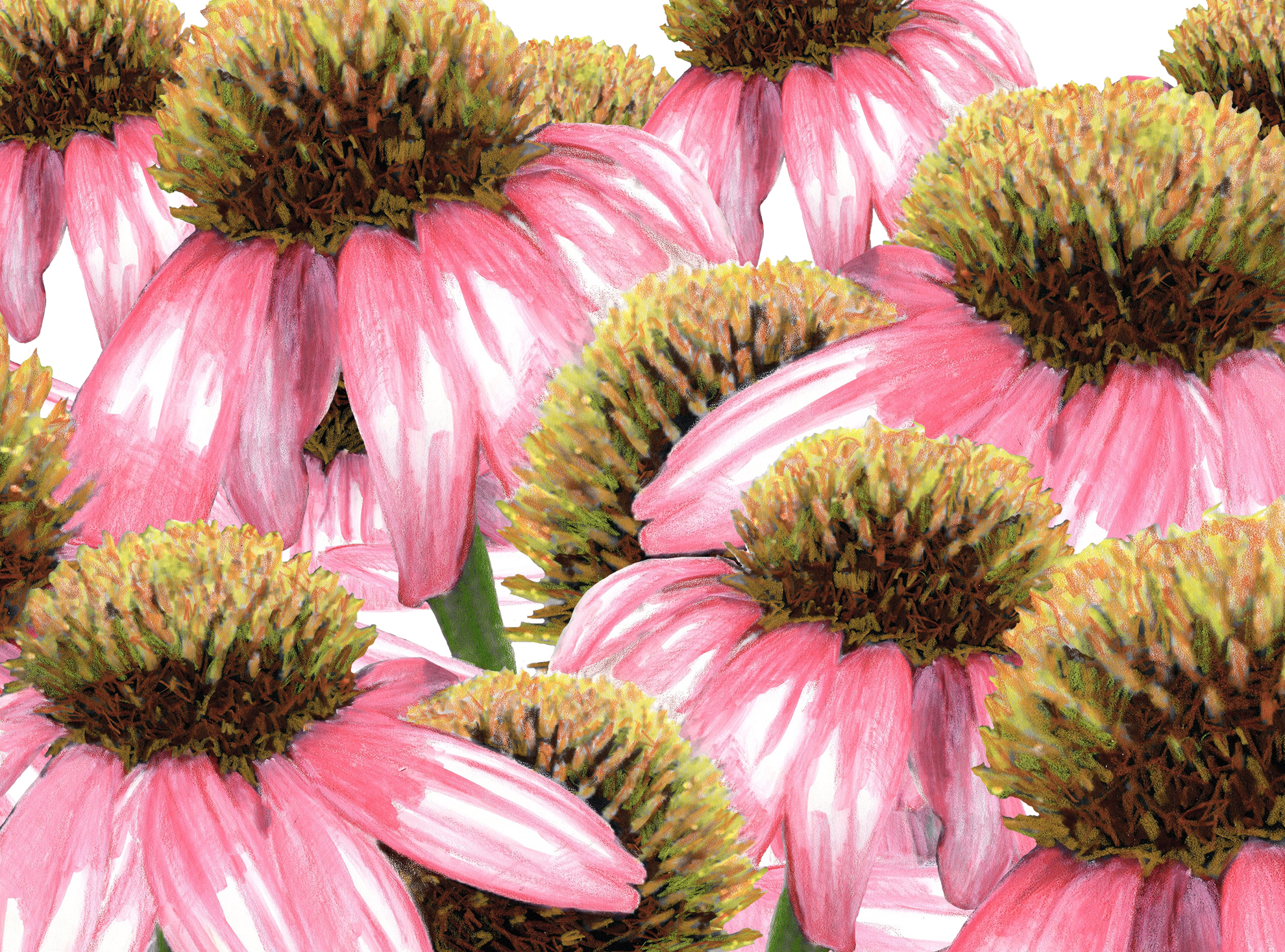 Coneflowers - Watercolor and color pencil