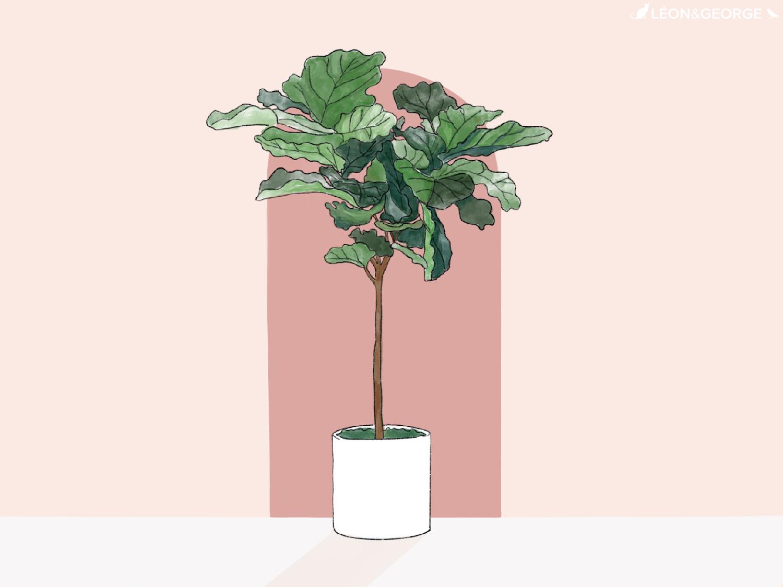 Comment entretenir et sublimer votre Ficus Lyrata