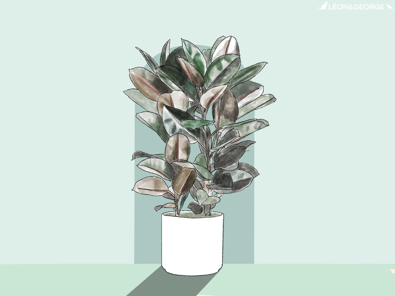 Comment entretenir et sublimer votre Ficus Elastica