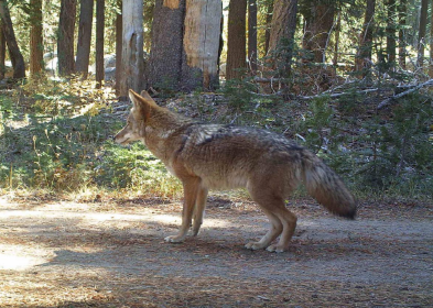 Beautiful coat on this crafty coyote, also traveling the fire road.