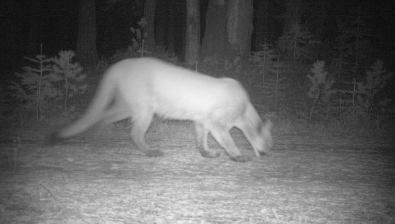 The action doesn't stop at night when this mountain lion was observed foraging near a camera.