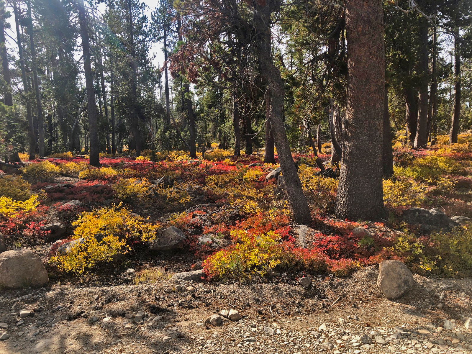 Fall color on the forest floor at Royal Gorge.