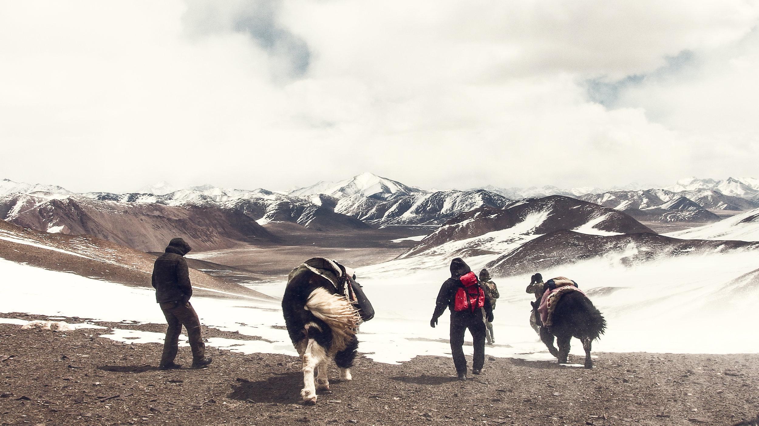 Yak safari in northern Alichur range
