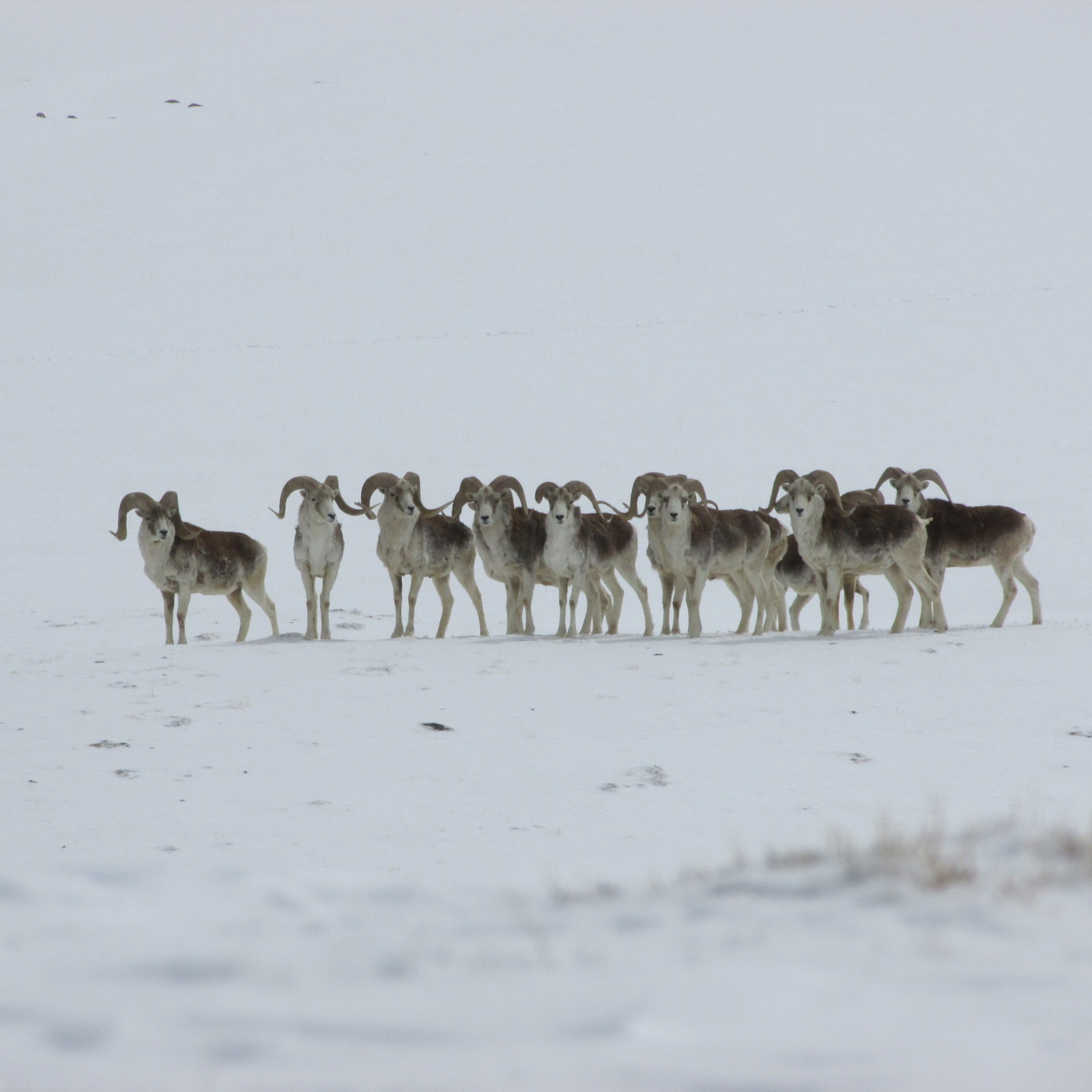Marco Polo Sheep observation -