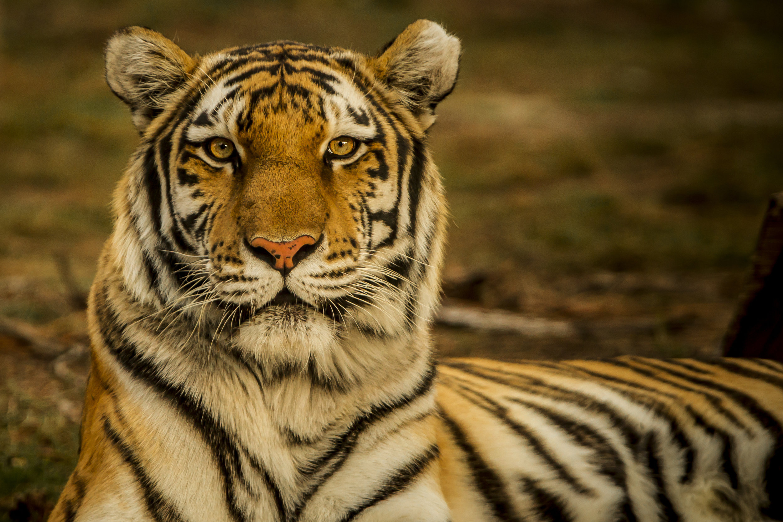 To Our Media Friends, - Help us raise awareness of tiger conservation and celebrate the community coming together for wildlife! Click below to view our press kit.