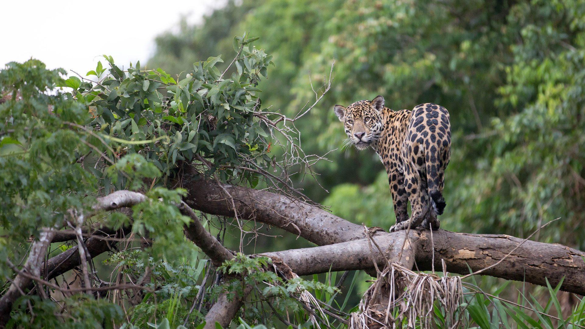 Jaguar-in-Jungle.jpg