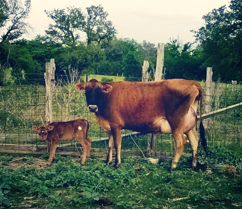 cow+calf.jpg