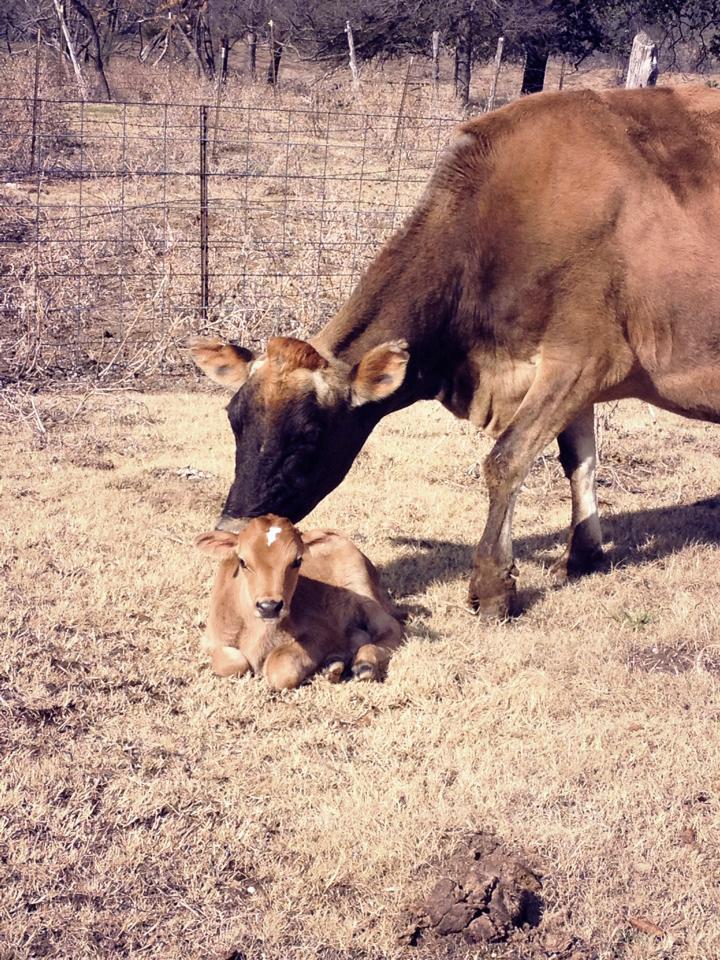 cow+calf2.jpg