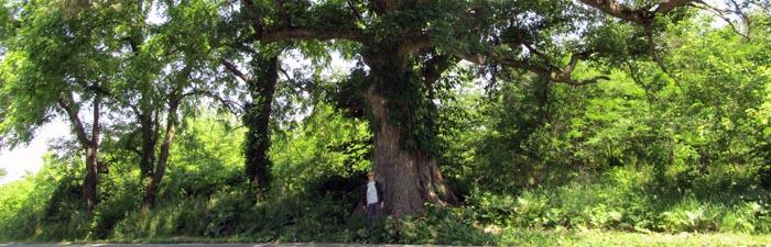 big_tree_header.jpg