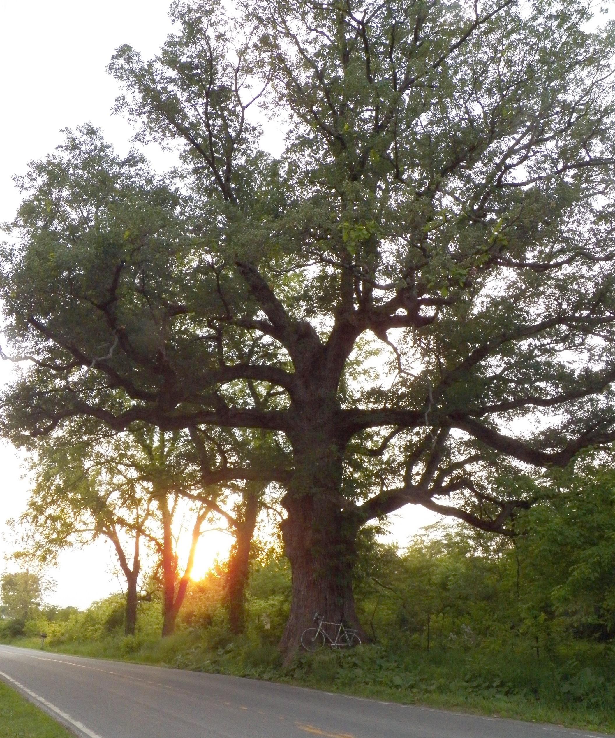 big_tree2.jpg