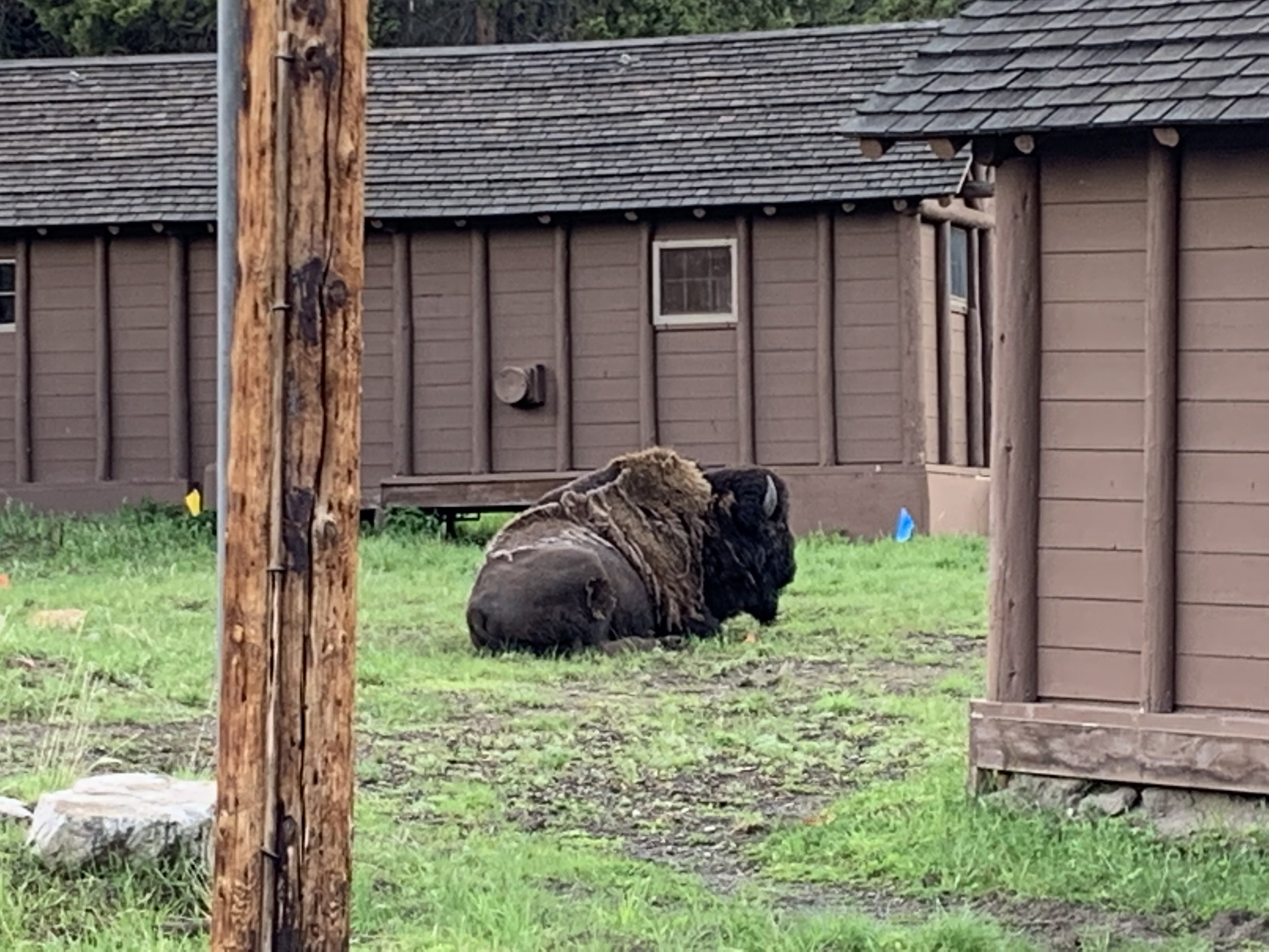 The bison outside my cabin in Yellowstone was the size of a VW bug!