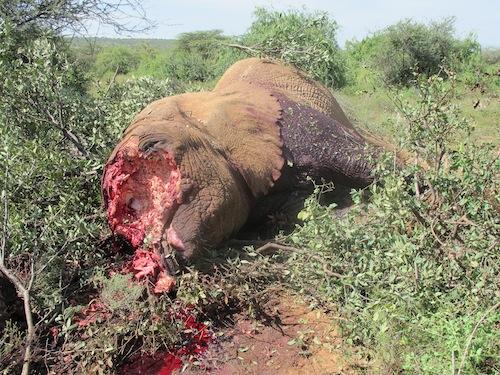 Changila destroyed by poachers, January 3, 2013. Photo courtesy of Chris Leadismo, Save the Elephants.