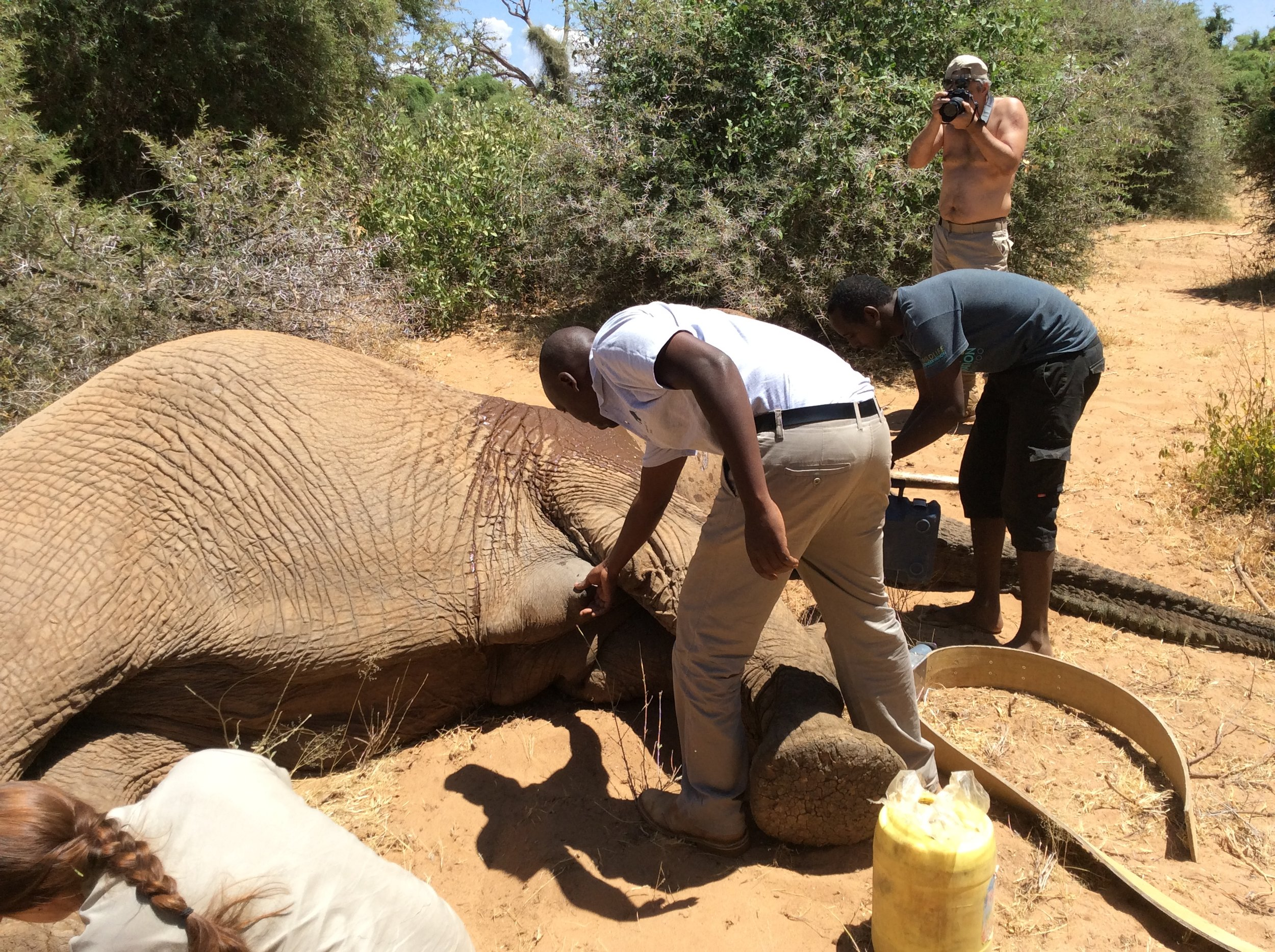 Veterinarians and Orphan Project researchers have sedated a Samburu elephant while attaching a new radio collar.