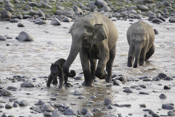 """WWF/CHRISTY WILLIAMS  """"The poaching threat facing elephants in Myanmar has reached """"crisis"""" levels, the World Wide Fund for Nature warned this week."""""""
