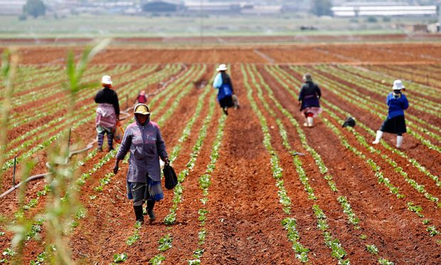 Farm workers in a field at a farm in Klippoortie, east of Johannesburg. Photograph: Siphiwe Sibeko/Reuters