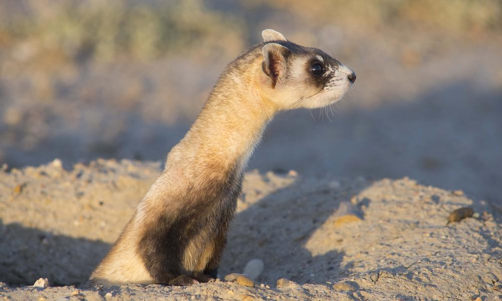 Northern Great Plains Black Footed Ferret Making a comeback