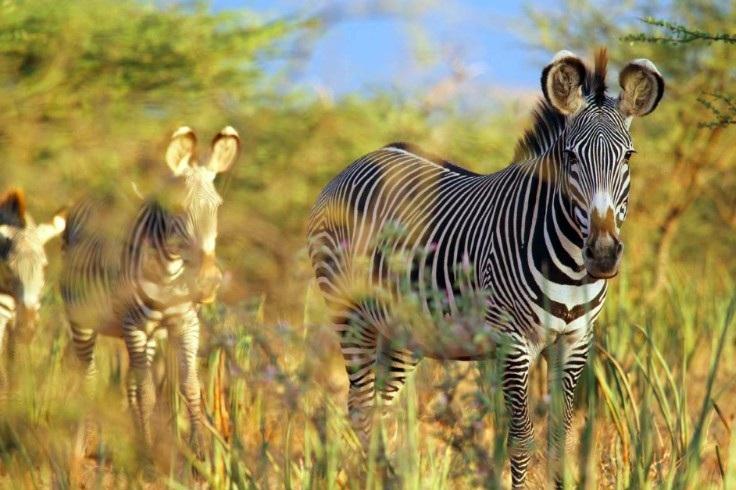 Grevys Zebra Trust