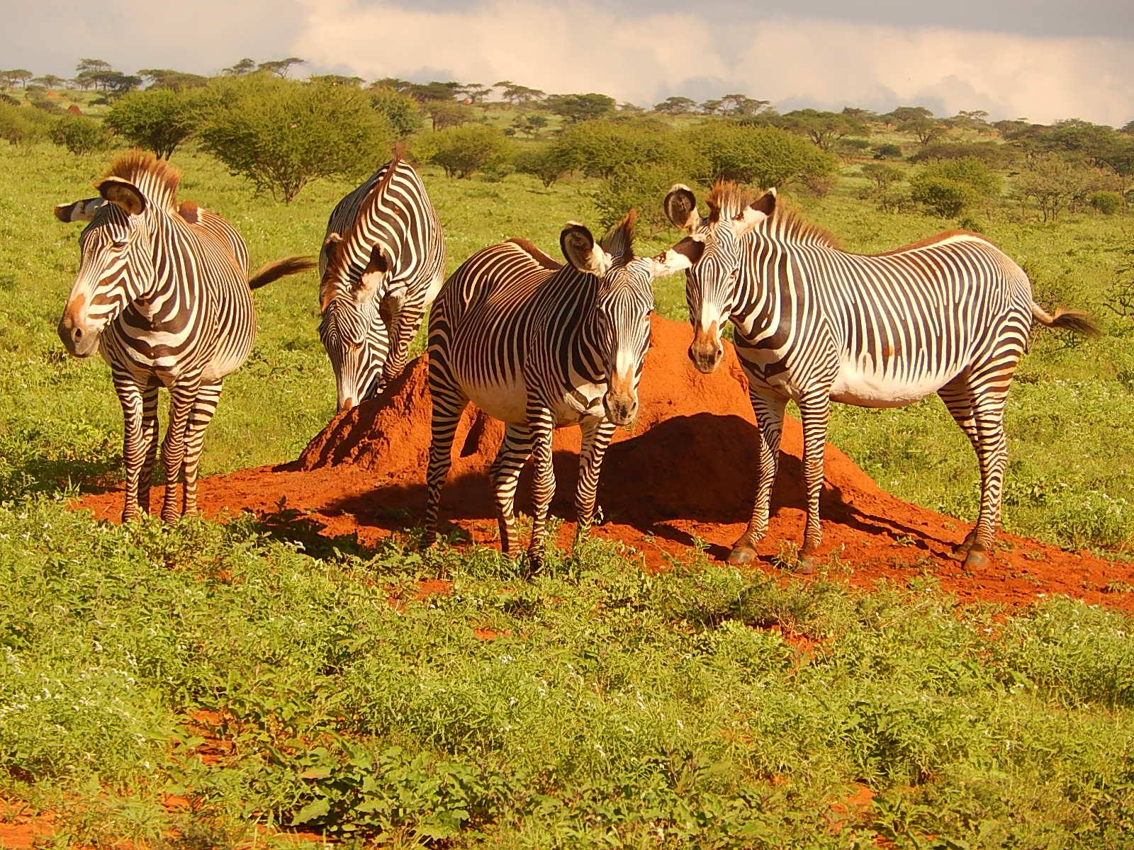 """""""Being a great source of the extra minerals that they need, termite mounds are valued commodities for Grevy's zebras."""" Photo courtesy of Grevy's Zebra Trust"""