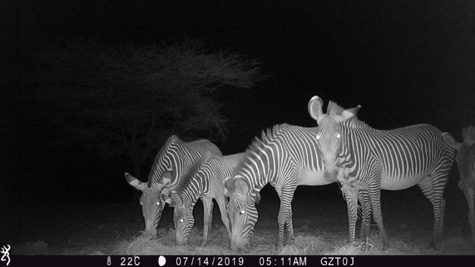 """""""Our supplementary feeding program was a welcome relief for this herd of Grevy's zebras that was captured by one of GZT's camera traps feasting on the hay that was left for them at Tirgamo corridor in Laisamis."""" Photo and caption courtesy of Grevy's Zebra Trust"""