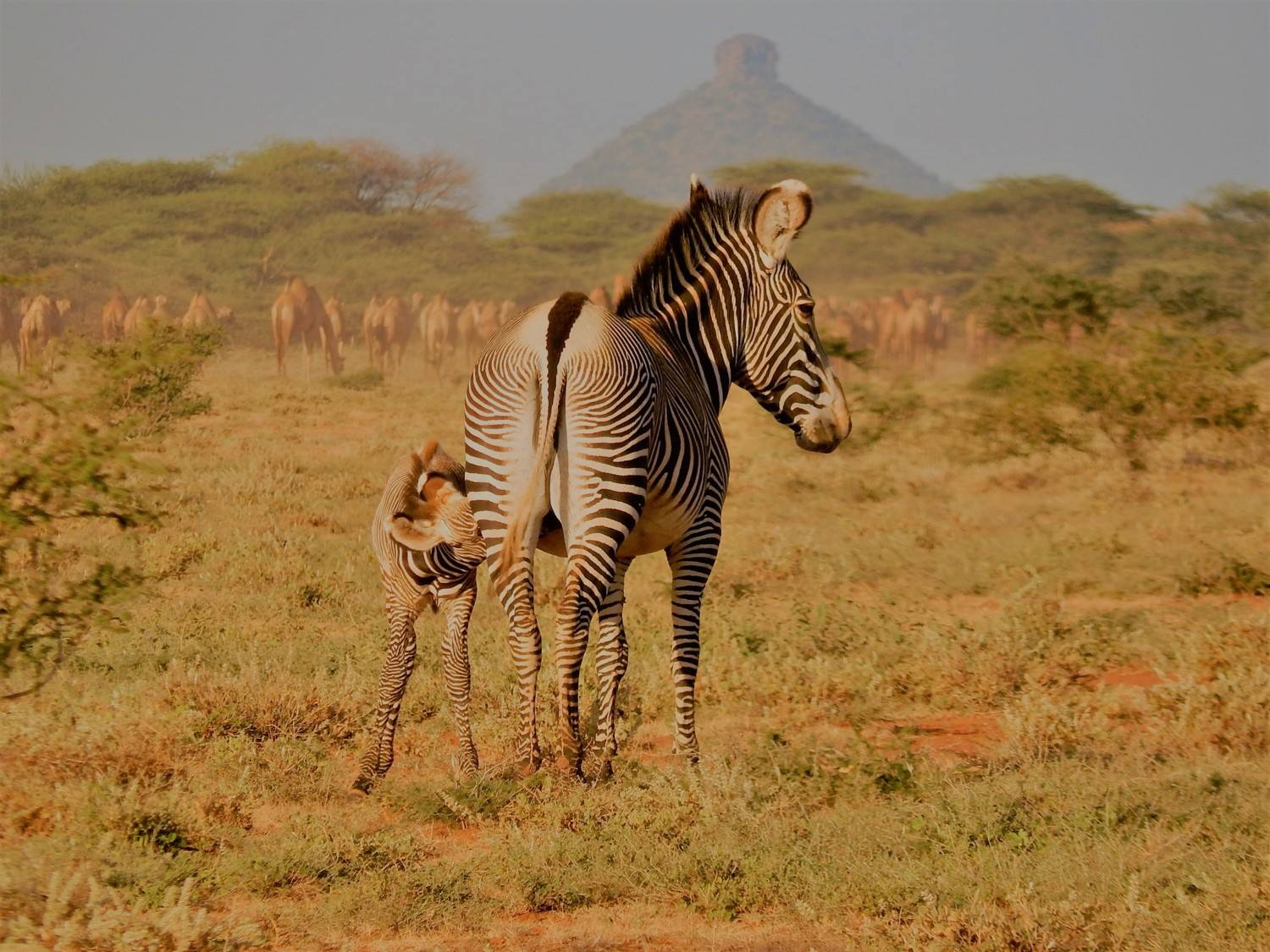 """Grevy's zebra foals and their protective mothers are inhabiting Naibelibeli plains in high numbers- over 20 very young foals were seen during a drive out to the plains yesterday morning. It is a testament to the good rains and plentiful pasture in Westgate Conservancy. The foals survival will be dependent on the onset of the rains in April, replenishing the diminishing pasture and water resources that are subject to increasing competition from livestock, wildlife and people as the dry season extends."" Image and caption courtesy of Grevy's Zebra Trust"