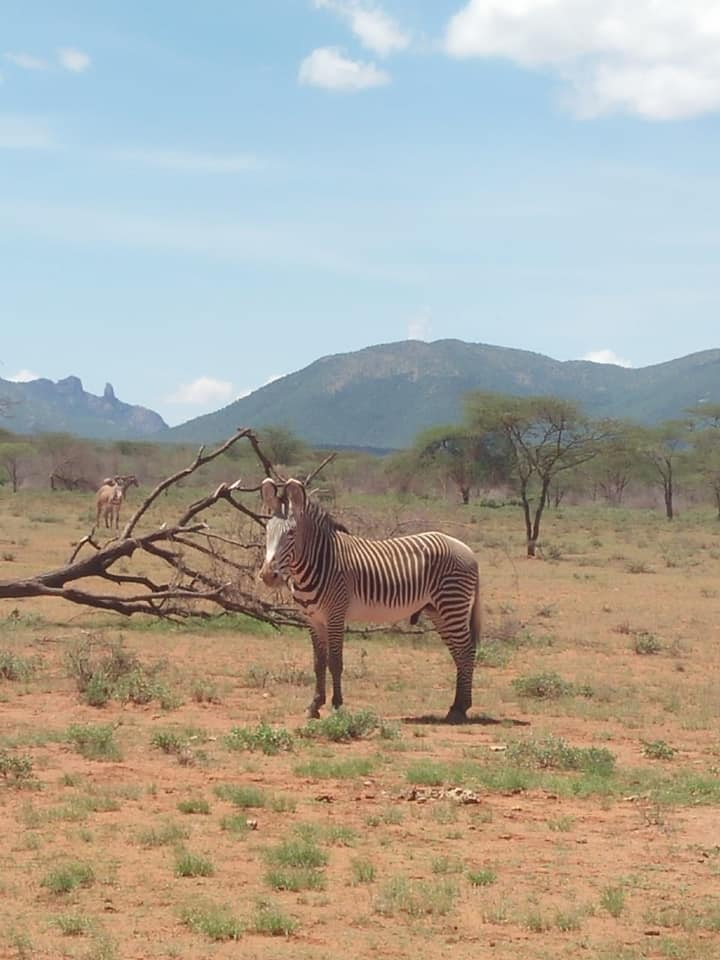 """In Sukuroi zone, Westgate Conservancy, community members have been voluntarily clearing the invasive species, Acacia reficiens, from the rangelands. Nearly immediately, Grevy's zebra moved into the cleared site, making the most of the open spaces to graze."" Caption and image courtesy of Grevy's Zebra Trust."
