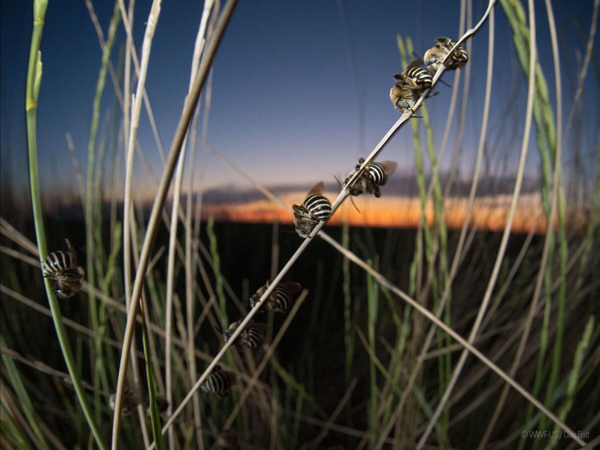 Male longhorn bees sleeping on grassland vegetation. Image courtesy of WWF US / Clay Bolt