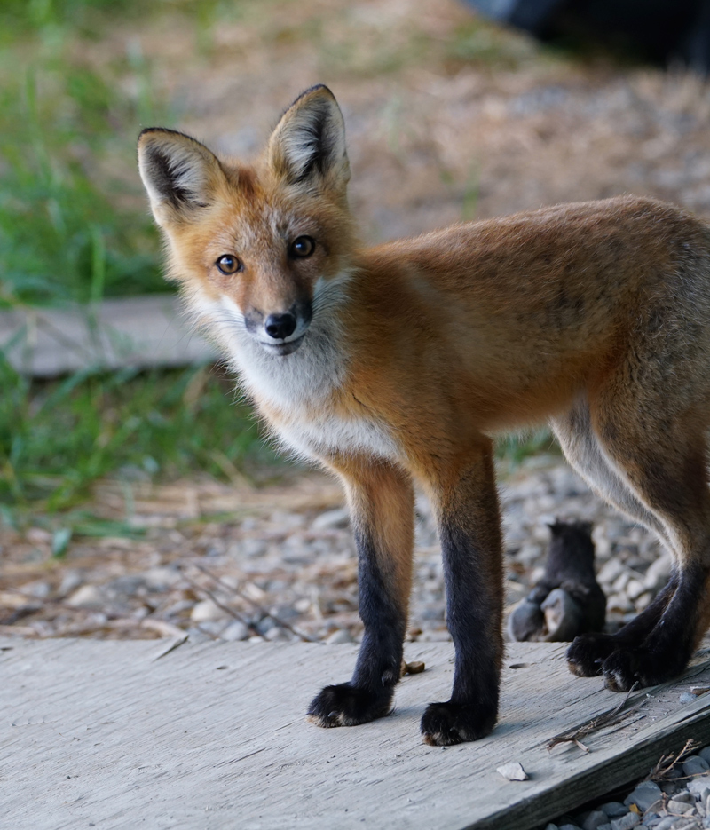 _fox-cub-bobby.jpg