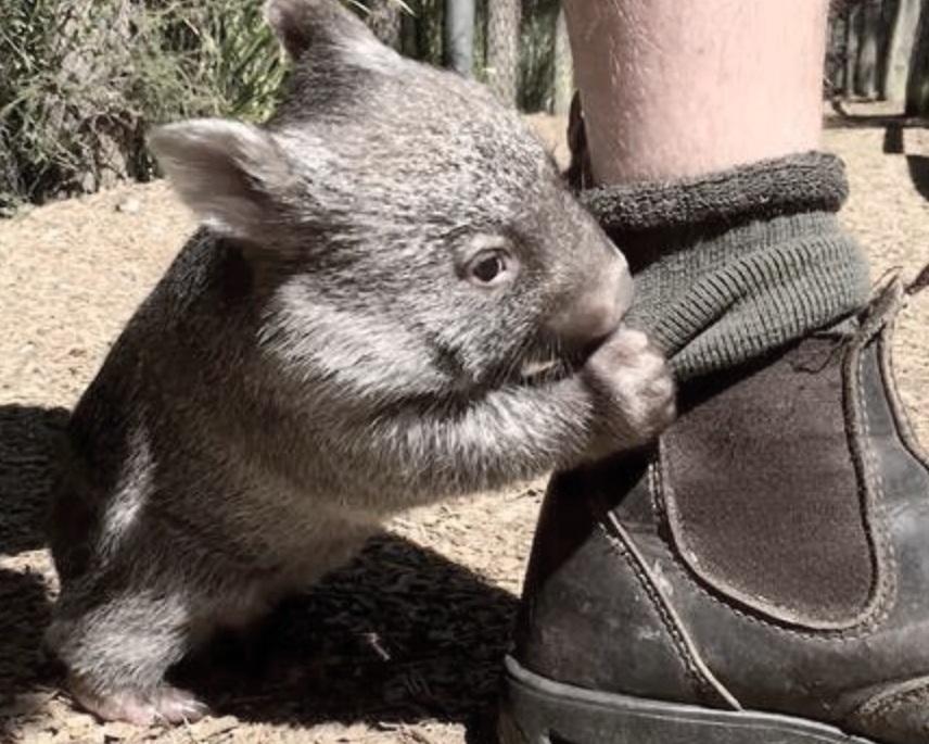 wombat+care