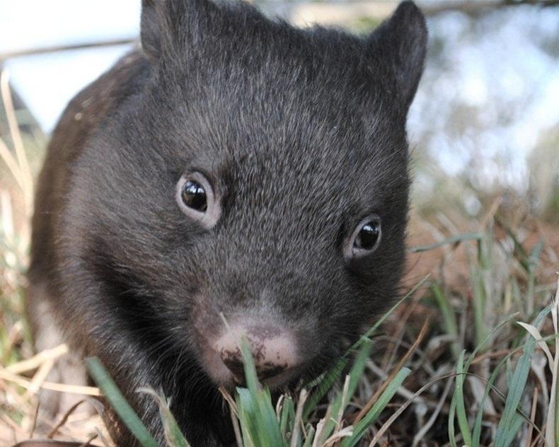 wombat+conservation